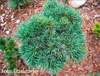 Pinus cembra 'Drei Zinnen'