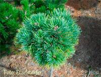Pinus cembra 'Frieda'