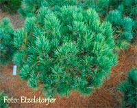 Pinus cembra 'Fussball'