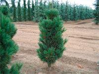 Pinus cembra 'Glauca Compacta'