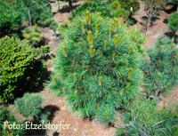 Pinus cembra 'Granitzen'