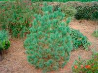 Pinus cembra 'Gunther Esrich'