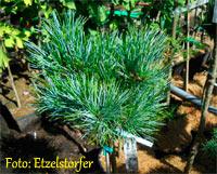 Pinus cembra 'HB Bohle'
