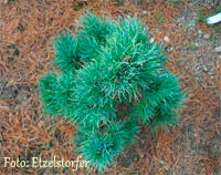 Pinus cembra 'HB SDL Nr1 1998'