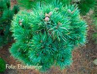Pinus cembra 'Hagengebirge'