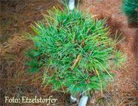 Pinus cembra 'Heike'