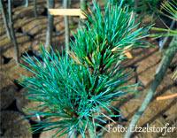 Pinus cembra 'Herbstwind'