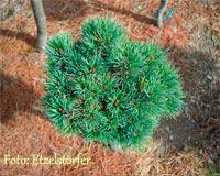 Pinus cembra 'Hirschbichlalm'