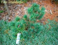 Pinus cembra 'Hirschkeule'