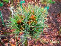 Pinus cembra 'Hochalm'