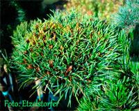 Pinus cembra 'Honza'
