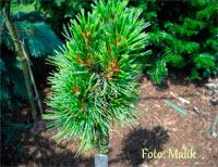 Pinus cembra 'Hutberg'