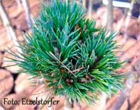 Pinus cembra 'Igel'
