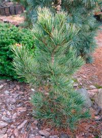 Pinus cembra 'Jermyns'