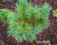 Pinus cembra 'Kamcatka'