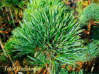 Pinus cembra 'Kapaus'