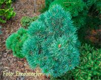 Pinus cembra 'Kaunertal'