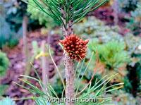 Pinus cembra 'Klatovy'