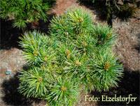 Pinus cembra 'Komander'