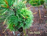 Pinus cembra 'Krejci Hexe'