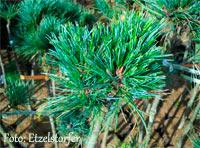 Pinus cembra 'Kreuzwies'