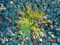 Pinus cembra 'Kristat'