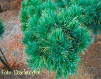 Pinus cembra 'Latemar'