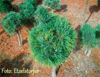 Pinus cembra 'Legalm'