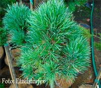 Pinus cembra 'Leo'