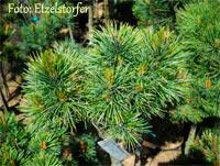 Pinus cembra 'Liltental'