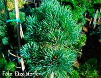 Pinus cembra 'Malga'