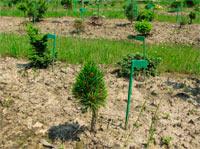 Pinus cembra 'Maria Flora'