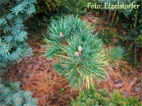 Pinus cembra 'Mars'