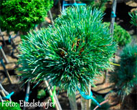 Pinus cembra 'Martha'