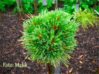 Pinus cembra 'Mercedes J2'