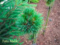 Pinus cembra 'Mercedes J4'