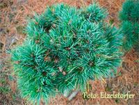 Pinus cembra 'Niederalm'