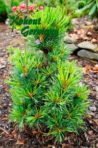 Pinus cembra 'Niederthai'