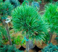 Pinus cembra 'Nocki'
