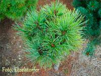Pinus cembra 'Nr2'