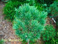 Pinus cembra 'Nr5'