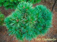 Pinus cembra 'Nr7'