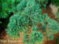 Pinus cembra 'Otztal'
