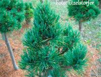 Pinus cembra 'Paradekissen'