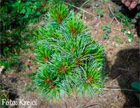 Pinus cembra 'Parapola'