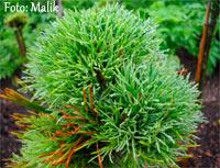 Pinus cembra 'Passo Erbe'