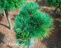 Pinus cembra 'Perla'