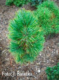 Pinus cembra 'Pordoi'
