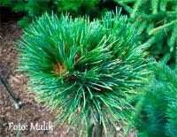 Pinus cembra 'Pordot'