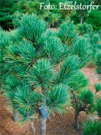 Pinus cembra 'Rautal'